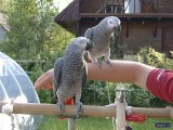 Outstanding African Grey Parrots For Sale