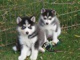 Siberian Husky Puppies For Sale