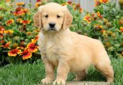 Bulky f1 generation golden retriever Puppies For S