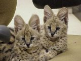 Servals Kittens for sale