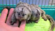 Good looking Marmoset Monkeys for Re-homing