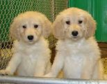 Goldendoodle males and females Puppies For sale