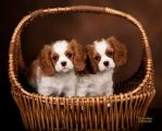 Adorable males and females Cavalier King Charles S
