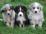 Registered males and females Australian Shepherd P