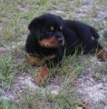 Wonderful males and females Rottweiler Puppies for