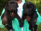 Beautiful males and females cane corso Puppies Sal