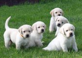 Cute Akc males and females Registered Labrador Pup