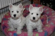 nice Males and Females West Highland White Terrier