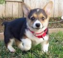 Trained Males and Females Pembroke Welsh Corgi Pup