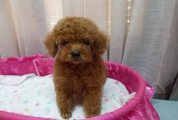 Fabulous males and females Poodle Puppies Availabl