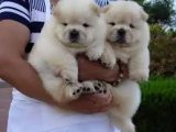 Sweet & playful males and females Chow Chow Puppie