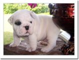 nice looking males and females English Bulldog Pup