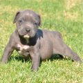 Beautiful Males and Females Pitbull Puppies for Sa