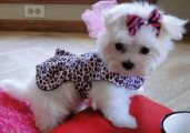 Purebred Males and Females Teacup Maltese Puppies