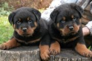 Rottweiler Males and Females Puppies Now Available