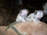 Pygmy males and females marmoset monkeys available